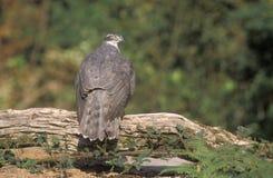 Goshawk, Accipiter gentilis Royalty Free Stock Images