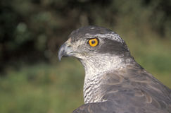 Goshawk, Accipiter gentilis royalty free stock photography