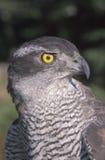 Goshawk, Accipiter gentilis Stock Image