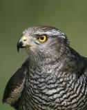 Goshawk, Accipiter gentilis Stock Images