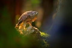 Goshawk Accipitergentilis som matar på den dödade haren i skogfågeln av rovet med pälslåset i nabitaten Djurt uppförande, royaltyfria foton