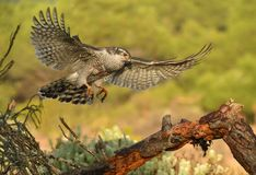 Goshawk arrives with wings open to its innkeeper. A goshawk arrives with wings open to its innkeeper royalty free stock images
