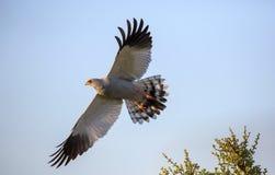 Goshawk Bird of Prey in Flight. Beautiful Goshawk Bird of Prey with Wings Spread royalty free stock photos