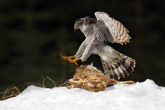 Goshawk, bird of prey kill hare and landing on the snow meadow with open wings, blurred dark forest in background, animal action s Royalty Free Stock Image