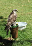 Goshawk. Bird standing on perch with basin of water near by on green grass Royalty Free Stock Photography