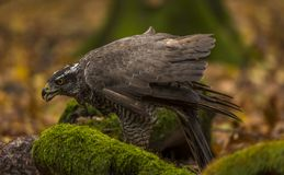 A goshawk. A captive  goshawk sits on ground of a  forest during autumn . Southern Slovakia Stock Photography
