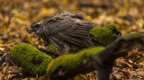A goshawk. A captive  goshawk sits on ground of a  forest during autumn . Southern Slovakia Royalty Free Stock Image