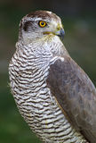 Goshawk close up. Yellow eye Royalty Free Stock Images
