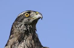 Goshawk closeup Stock Photos