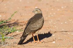 Goshawk de Gabar do juvenil que está na areia seca Fotografia de Stock