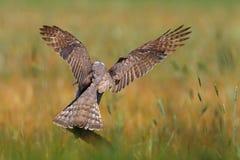 Goshawk de jachtvogels Royalty-vrije Stock Foto's
