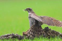 Goshawk de jachtvogels Royalty-vrije Stock Afbeelding