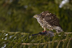 Goshawk do norte (gentilis do Accipiter) Foto de Stock Royalty Free