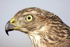 Goshawk do norte (gentilis do Accipiter) imagem de stock royalty free