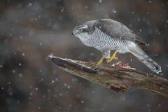 Goshawk do norte masculino selvagem Foto de Stock Royalty Free