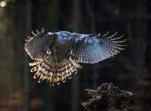 Goshawk do pássaro de voo com a floresta alaranjada borrada da árvore do outono Foto de Stock