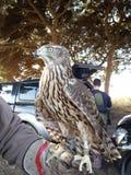 Goshawk. Falcon Falconry raptor animals. For hunting royalty free stock photos