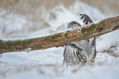 Goshawk falling from his perch Royalty Free Stock Photography