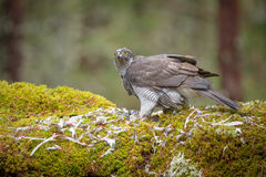 Goshawk Feeding Stock Photo