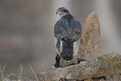 Goshawk. At first light with prey Stock Photo