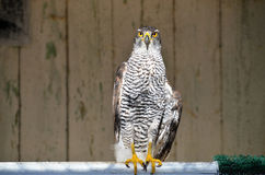 Goshawk - flying predator. Goshawk wounded in the rescue center, Accipiter gentilis Stock Photography