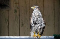 Goshawk - flying predator. Goshawk wounded in the rescue center, Accipiter gentilis Royalty Free Stock Image