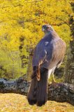 Goshawk in forest. Royalty Free Stock Images