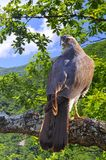 Goshawk in forest. Royalty Free Stock Photos