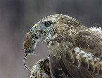 Goshawk holding mouse in beak close-up Stock Photography
