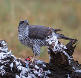 Goshawk with killed dove Stock Image