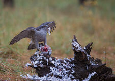 Goshawk with killed dove. A female Northern Goshawk (Accipiter gentilis) plucks a recently killed pigeon, one of it's preferred preys, at a forest of the spanish Stock Photography