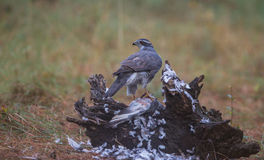 Goshawk with killed dove Royalty Free Stock Image