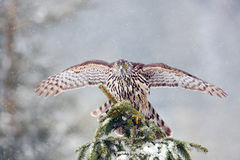 Goshawk landing on spruce tree during winter with snow. Bird of prey Northern Goshawk sitting oh the spruce branch with snow flake Royalty Free Stock Photo