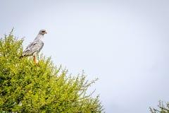 goshawk Pálido-chanting em uma árvore fotos de stock
