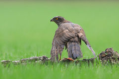 Goshawk Royalty Free Stock Photos