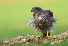 Goshawk. Photographed in its territory , while hunting , ate or flying Royalty Free Stock Images