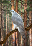 Goshawk  in pine forest Stock Photos