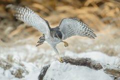 Goshawk with prey Stock Images