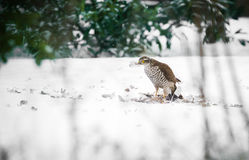 Goshawk with prey Royalty Free Stock Images