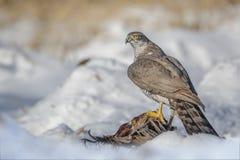 Goshawk with prey Stock Image