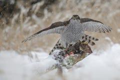 Goshawk with prey Stock Photos