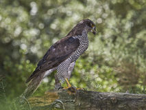 Goshawk. Raptor at his natural habitat. Hard to see it Royalty Free Stock Image