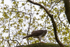 Goshawk's meal. Royalty Free Stock Photo