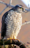 Goshawk is seeking for prey. Bird-predator goshawk is sitting on the palisade and wathching whether is prey nearby Stock Photography
