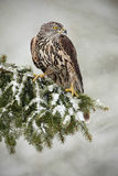 Goshawk. Sitting oh the spruce branch with snow flake during winter, Sweden Royalty Free Stock Photography