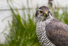 Goshawk Stare Royalty Free Stock Photography