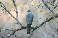 Goshawk in the tree Royalty Free Stock Photos