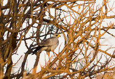 Goshawk on tree Stock Photography