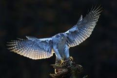 Goshawk, vliegende roofvogel met open vleugels met avondzon backlight, aard boshabitat op de achtergrond, die op boom landen royalty-vrije stock foto