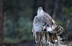 Goshawk watches with the prey from his innkeeper. The goshawk watches with the prey from his innkeeper royalty free stock photo